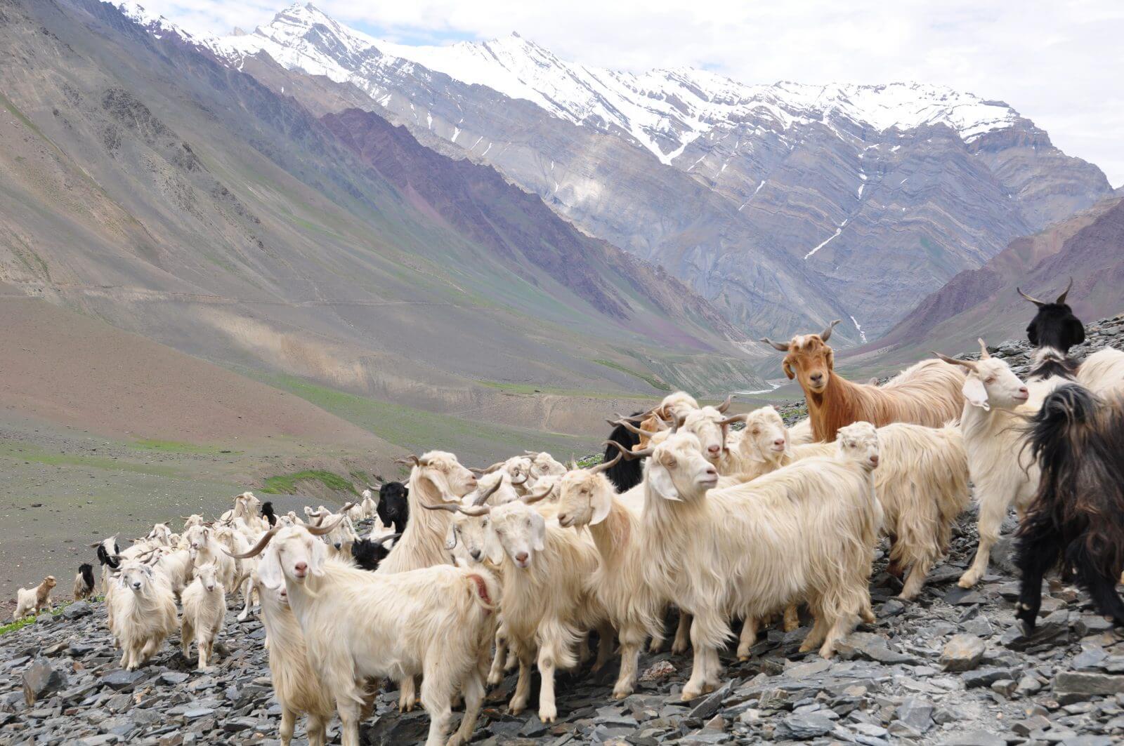 Шерстные породы коз: продуктивность по видам
