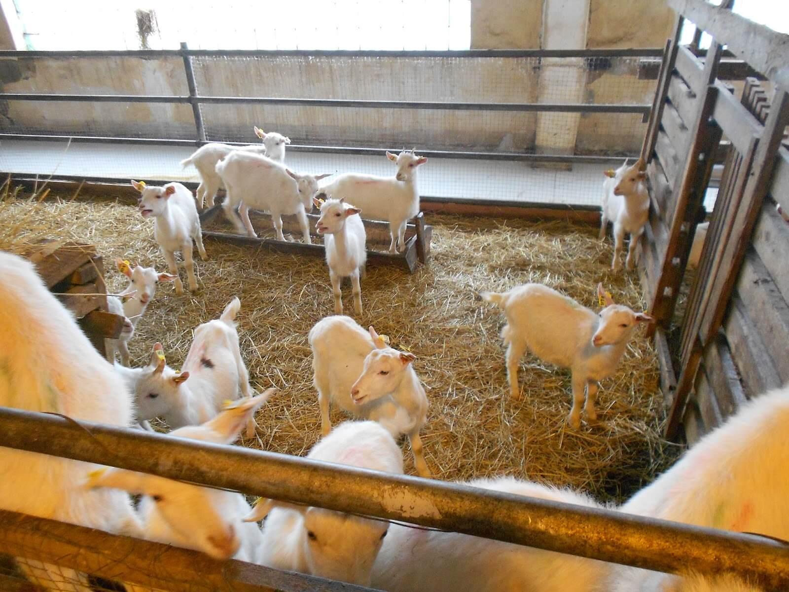 Уход, содержание и кормление коз в домашних условиях