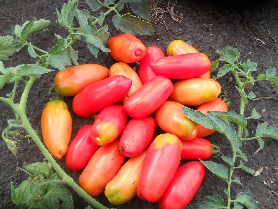 Удлиненные плоды томатов