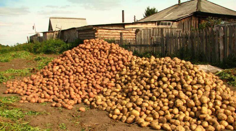 Урожайность картофеля с 1 сотки