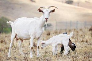Инфекционные и незаразные болезни коз и их симптомы