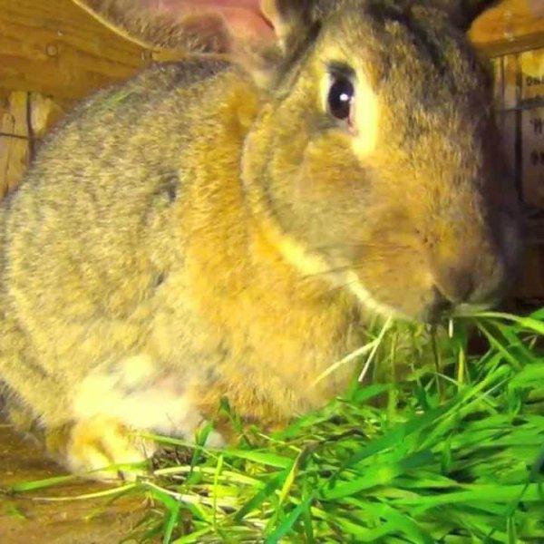 Кормление кролика травой
