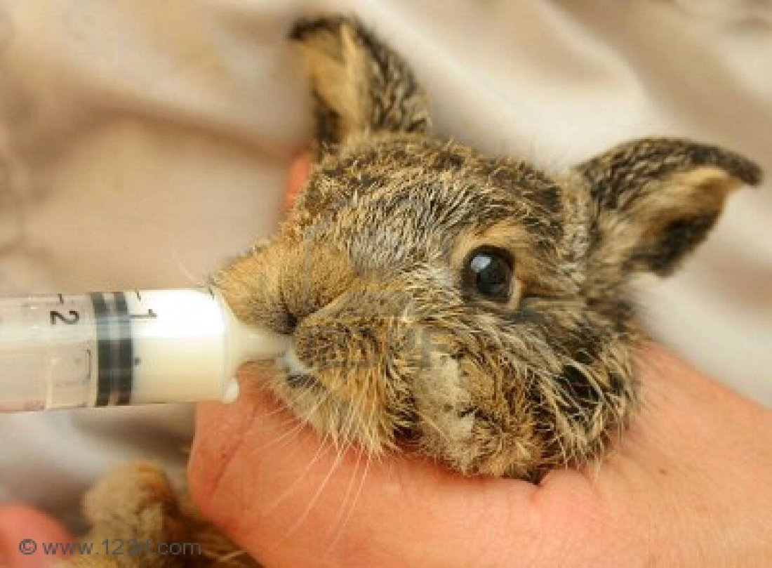 Крольчиха не кормит детенышей