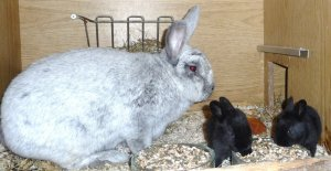 Крольчата: уход в первые дни жизни за выводком