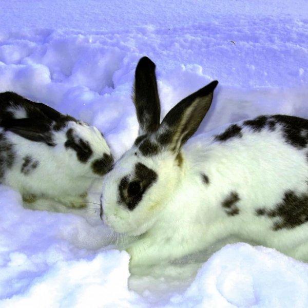 Кролик мерзнет зимой