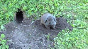 Кролик роет нору