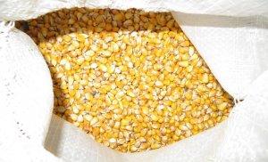 Кукуруза для кормления