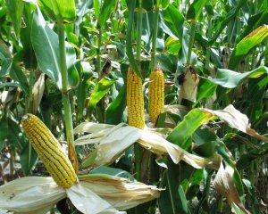 Кукуруза на участке