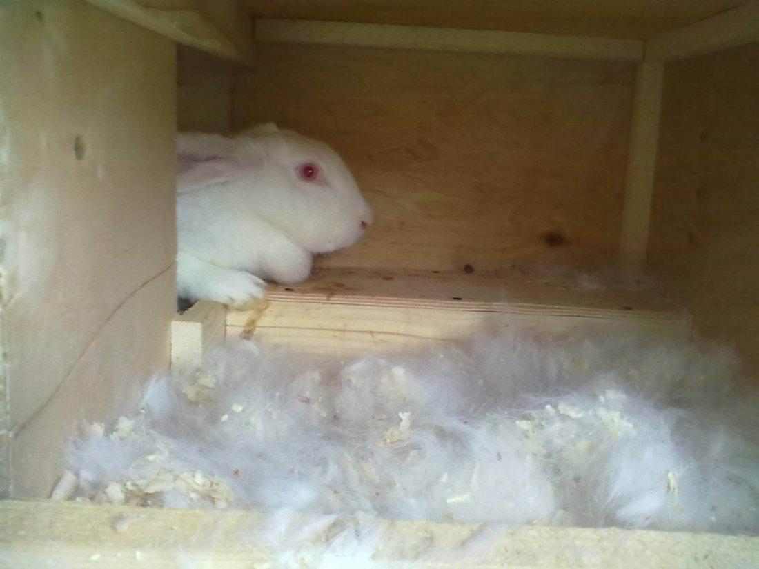 Маточник для кроликов