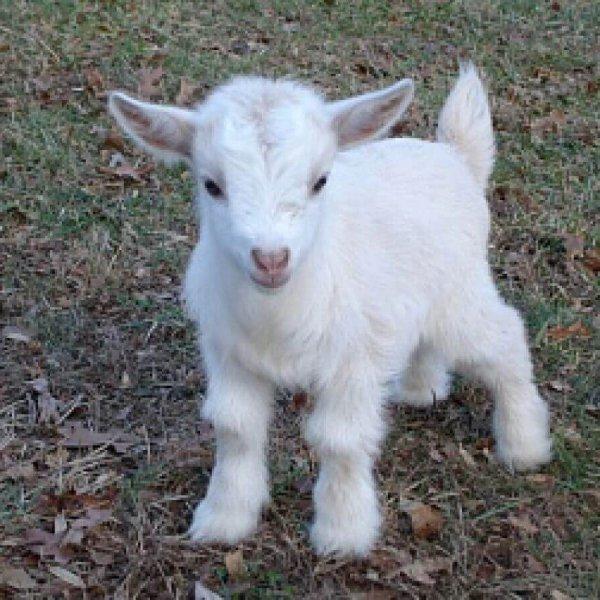 Молочный козленок