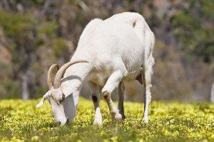 Питание козы летом