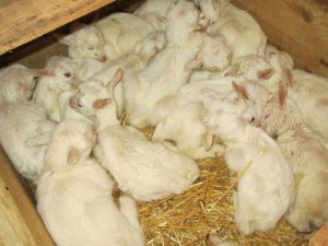 Молочные козлята: как правильно кормить и лечить