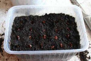 Проросшие семена ревеня