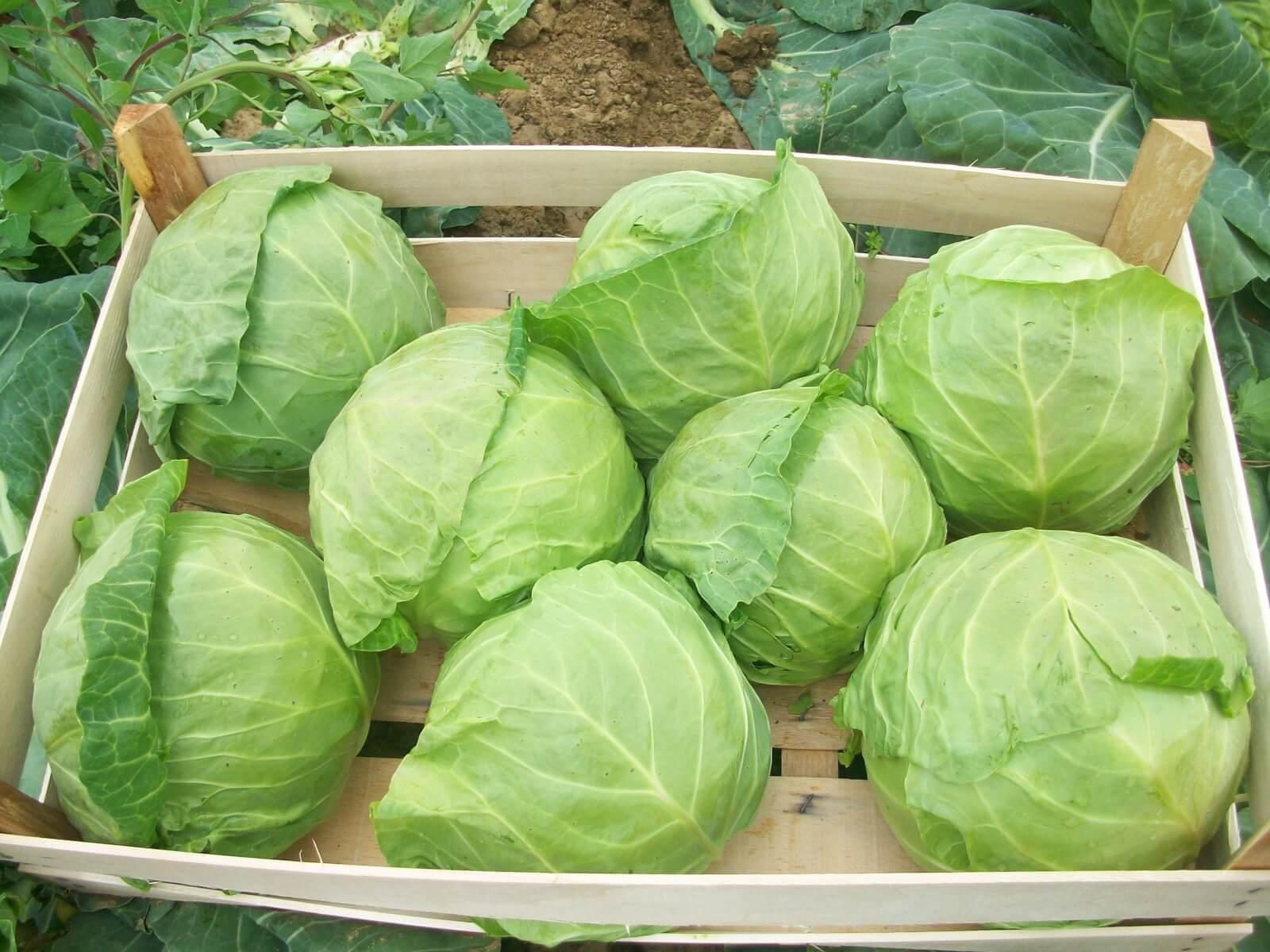 Капуста: как хранить в квартире, сортировать и подготовить плоды