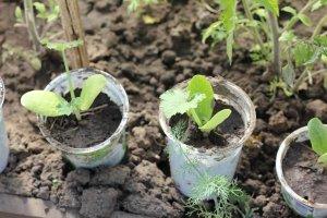 Выращивание рассады без пикировки