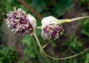 Бульбочки - семена чеснока
