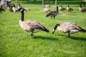 Гуси на зеленой траве