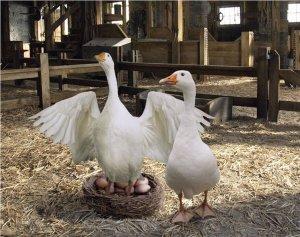 Гусыня на яйцах