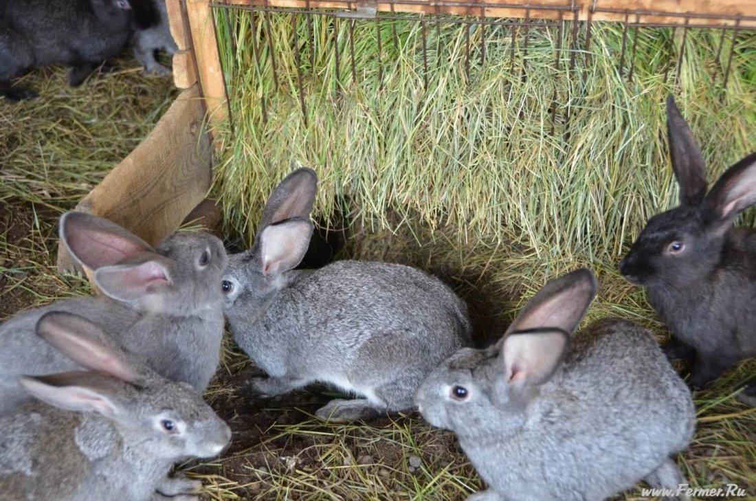 Кормление кроликов бройлеров