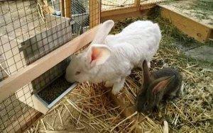 Кормление кроликов по Золотухину