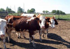 Коровы на подворье