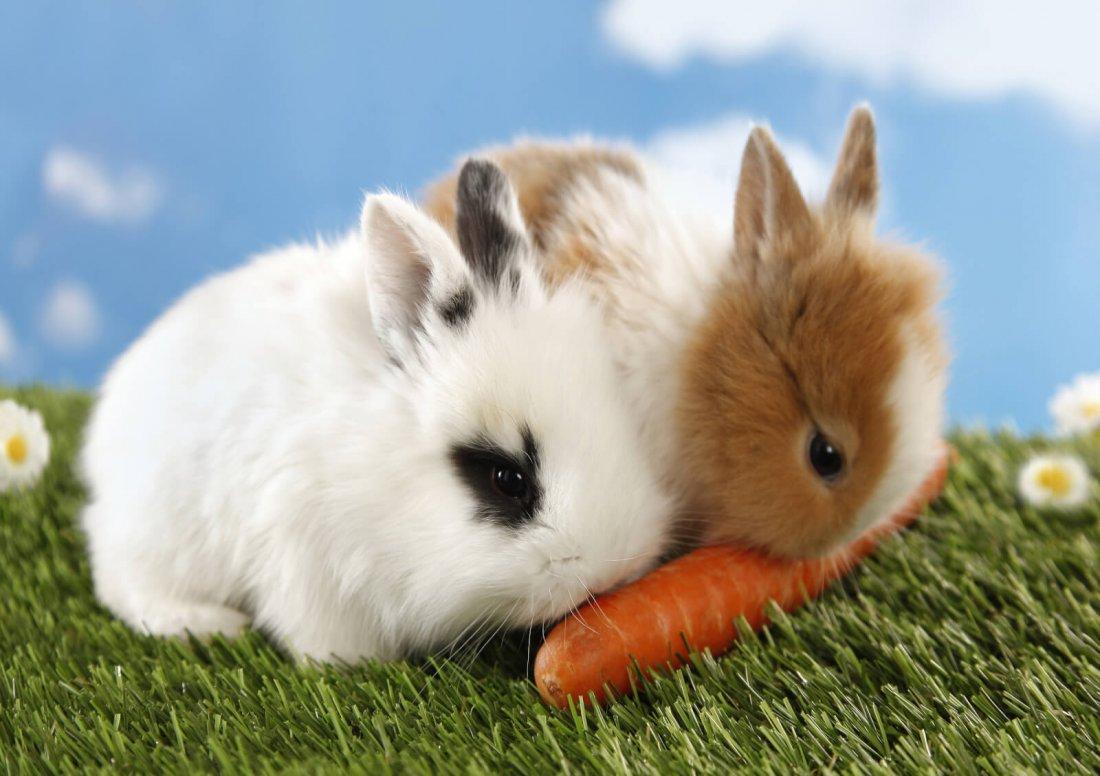 Кролики едят морковь