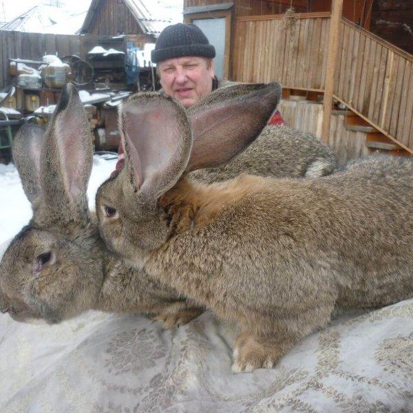 Кролики - великаны