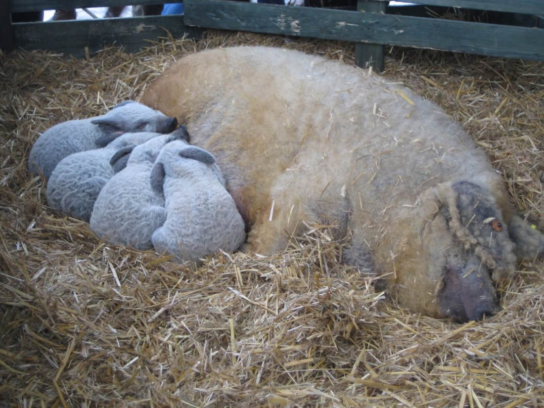 Мангалицкая свинья с поросятами