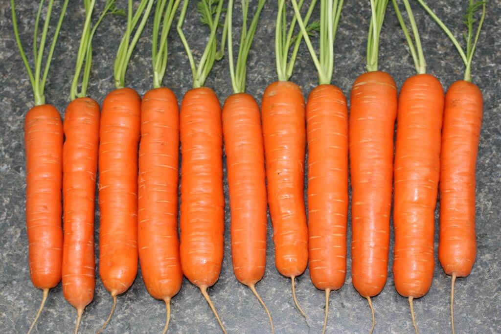 Морковь посадка и уход в открытом грунте: борьба с вредителями, сортовой состав