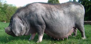 Мейшан: порода свиней для любителей сала, ливера и мраморного мяса