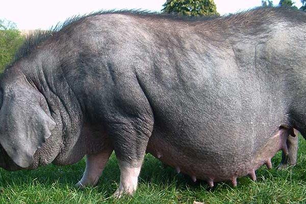 Порода свиней - Мейшан