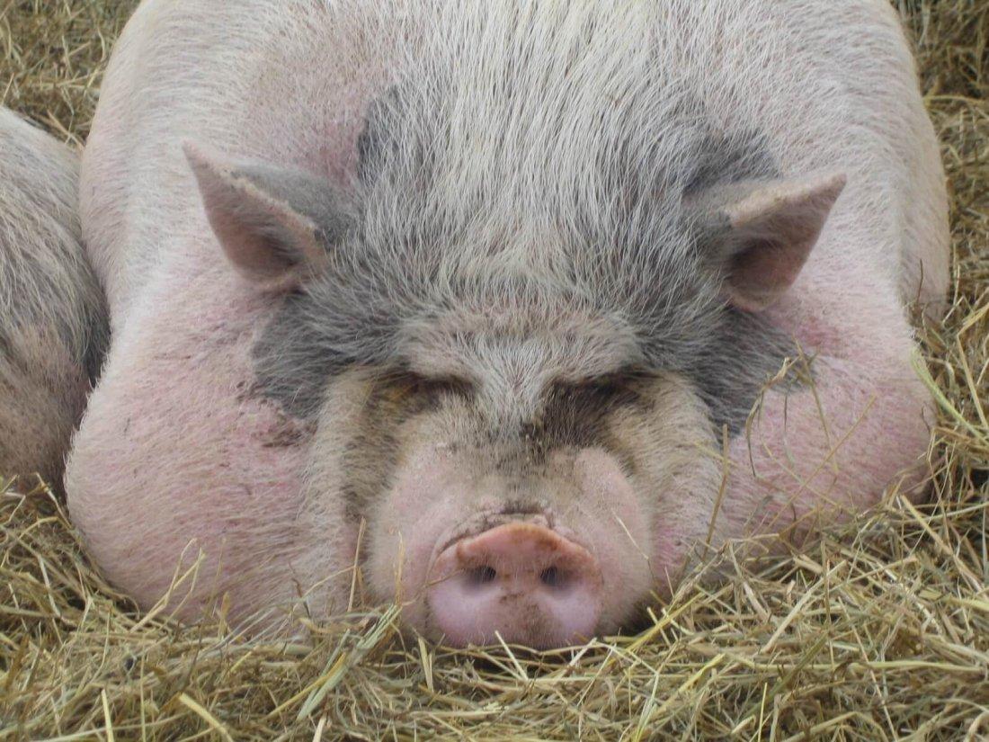Сальная свинья на откорме