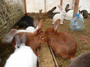 Содержание кроликов на подворье