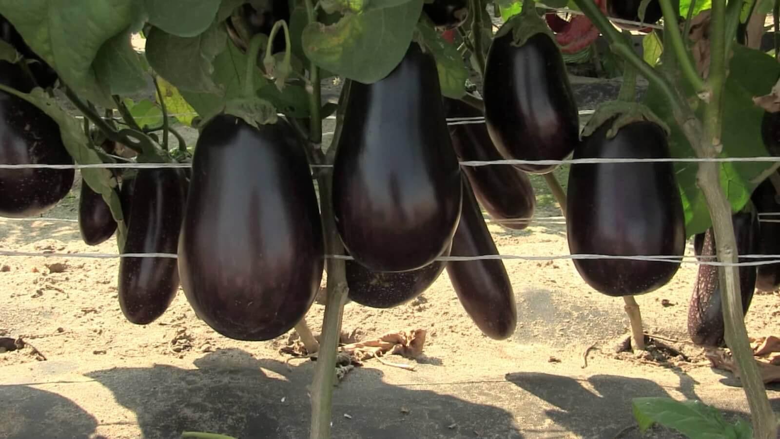 Формирование баклажан в теплице: полезные характеристики и вред овоща