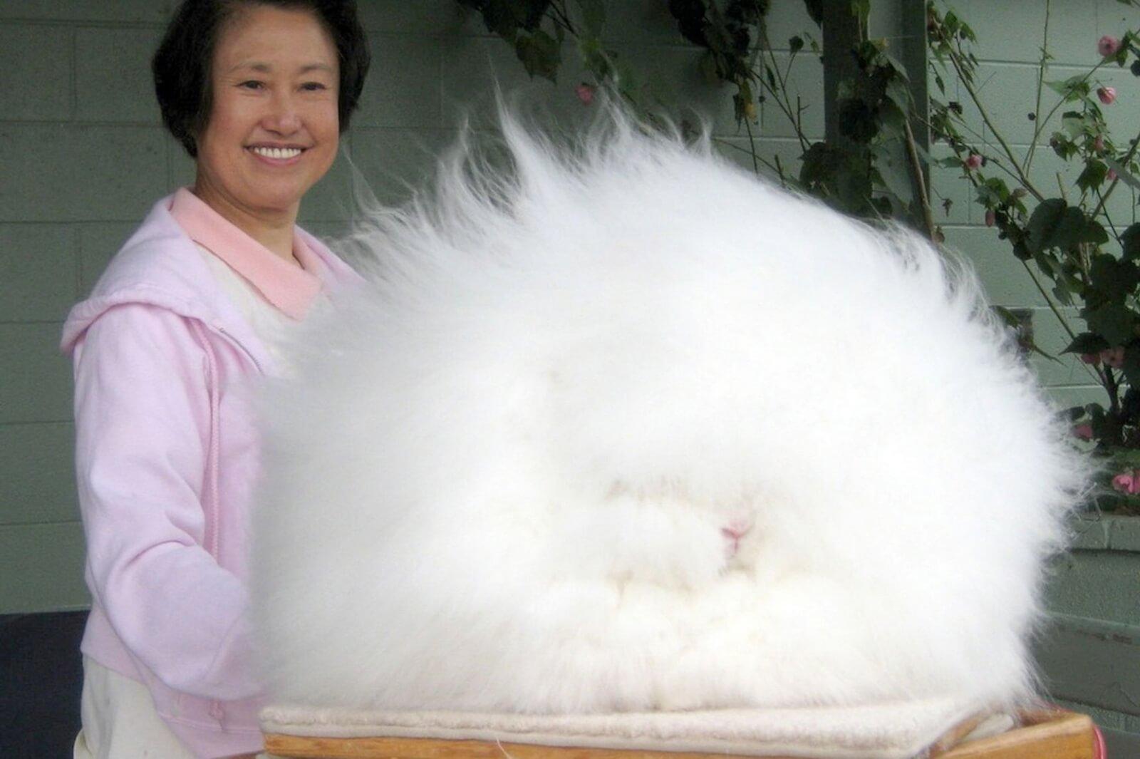 Пуховые кролики: разведение и уход