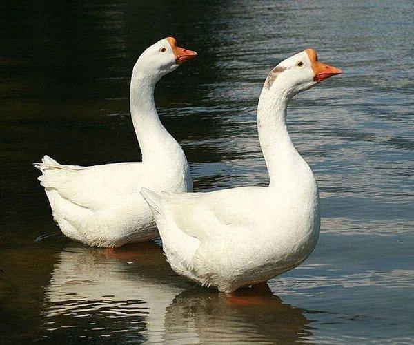 Разновидности гусей в России