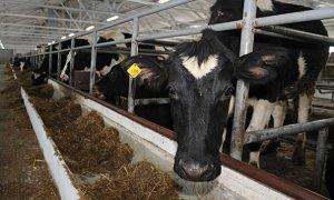 Кормление коров для хороших удоев