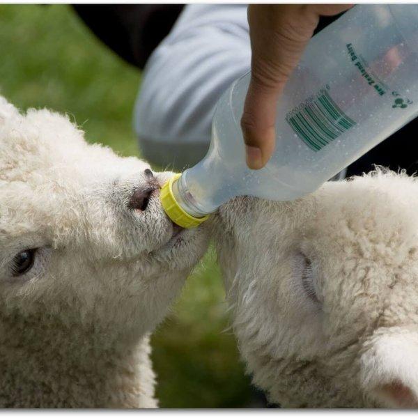 Кормление молодняка из бутылочки