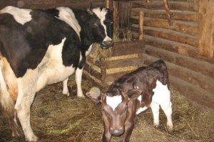 Корова с теленком в коровнике