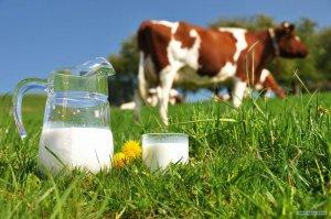 Молочные породы коров: молоко, чье лучше и вкуснее