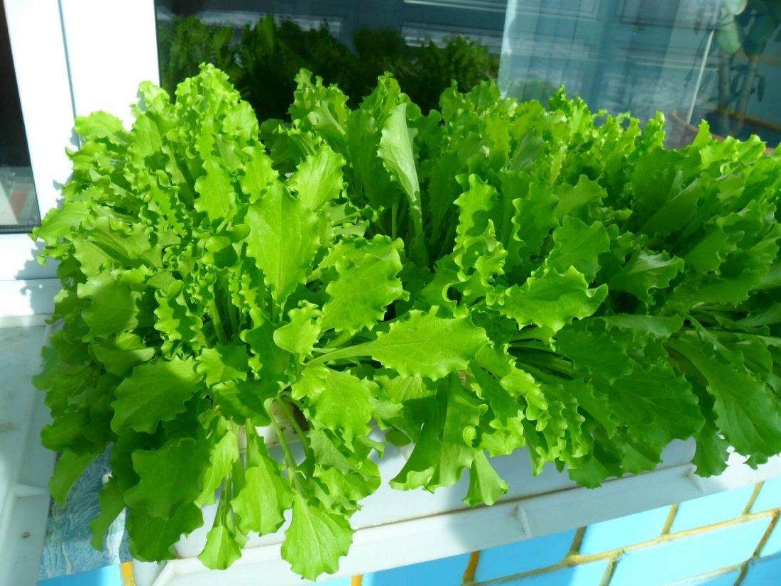 Листовой салат на окне