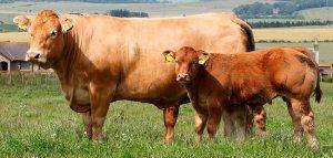 Мясные породы коров в России: список и описание