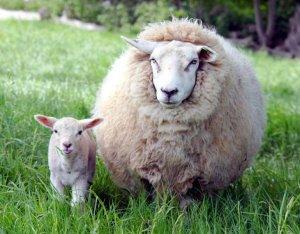 Овца - полушубок