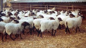 Пастбищно-стойловое содержание овец