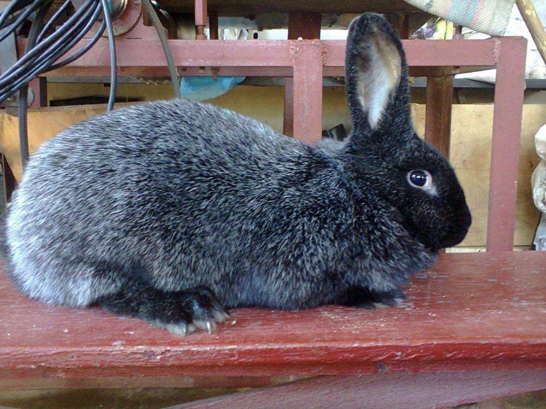 Порода кролика Серебро