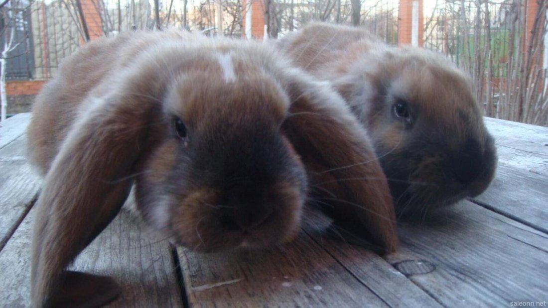 Порода кроликов Баран