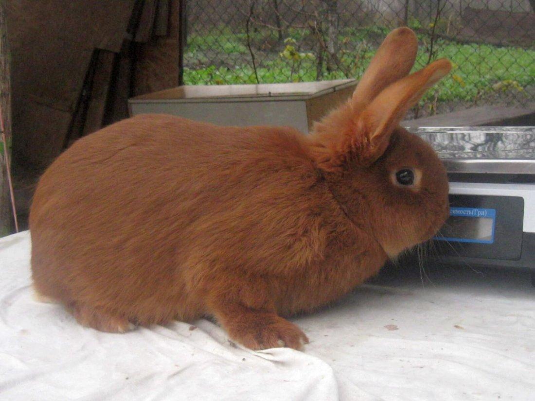Породы кроликов рыжего цвета