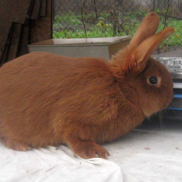 Порода кроликов Новозеландский красный