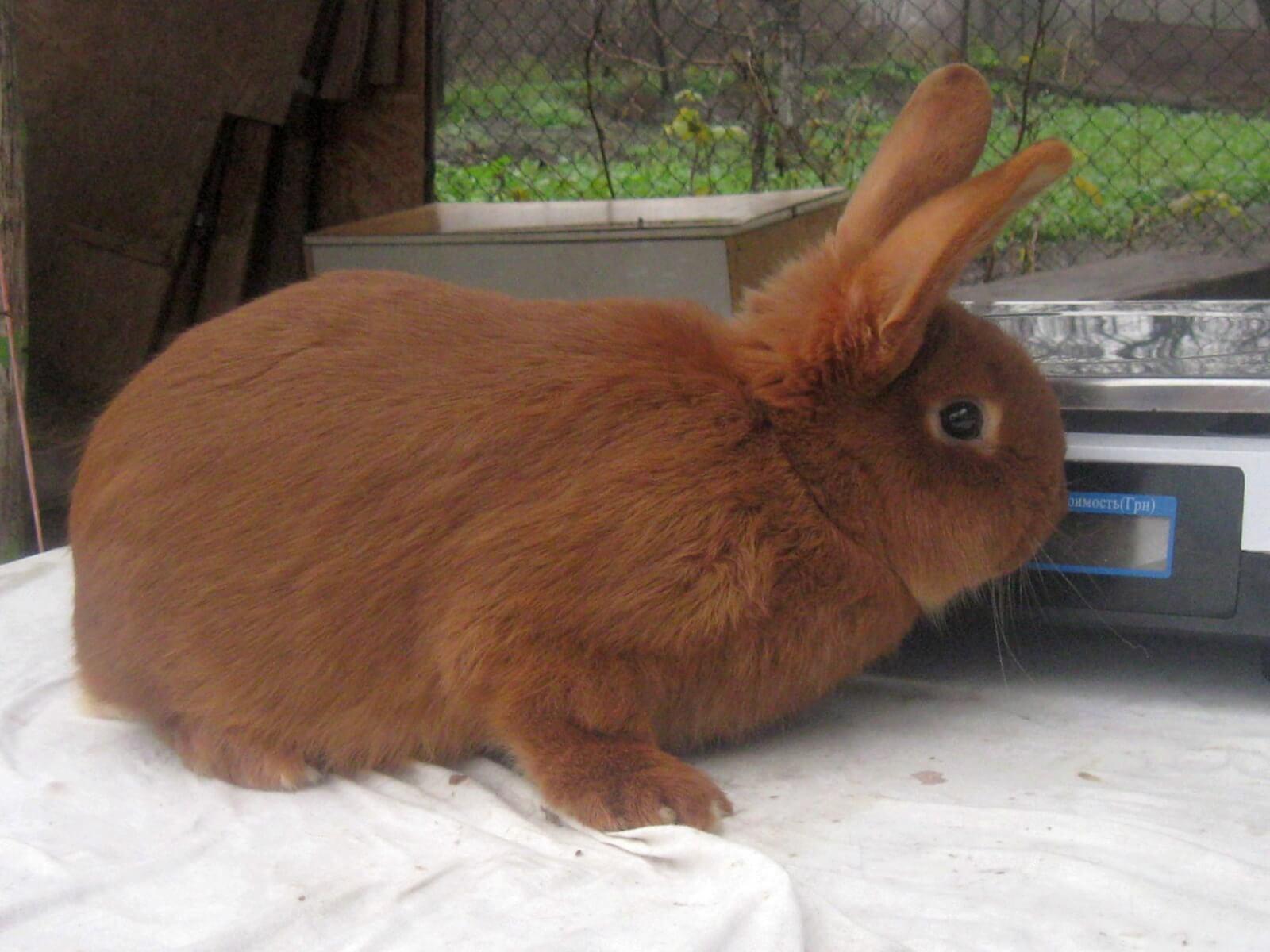 Редкие мясные породы кроликов: особенности разведения