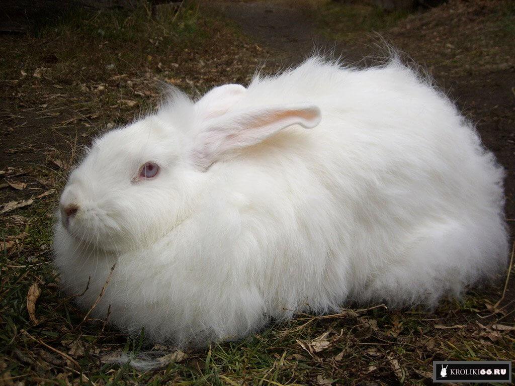 Чем отличаются пуховые кролики, породы, разновидности
